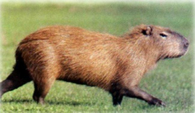 carpincho ataca a cazador - killer carpincho, la venganza